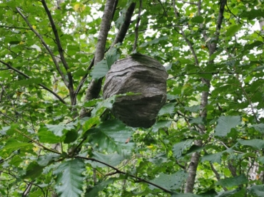 Wasp nest along the trail
