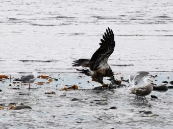 Immature Bald Eagle snacking