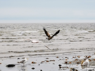 Immature Bald Eagle scared off by Sharon