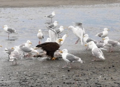 Bald Eagle trying to keep the seagulls from his dinner