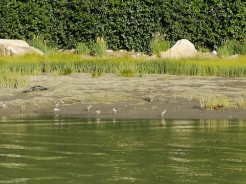Terns by the river outlet