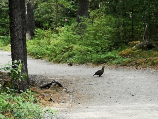 Mother Grouse and she had 4 chicks
