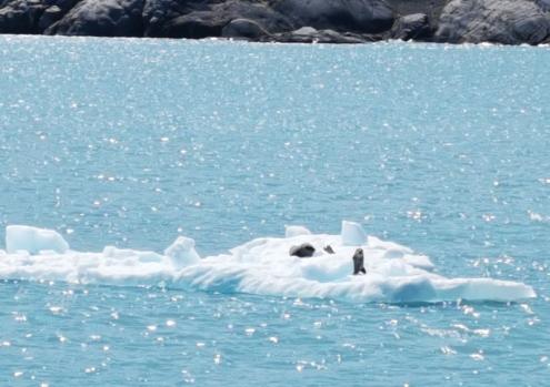 Sea Lions on an iceberg