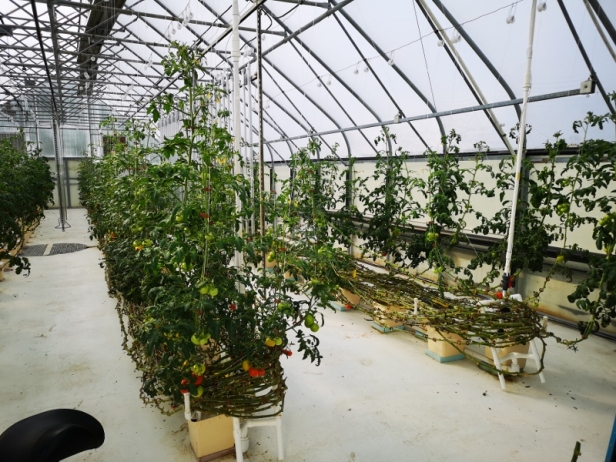 Tomatoes growing with hydroponics