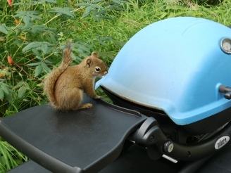 Red Squirrel checking out BBQ