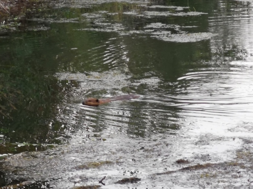 Adult beaver going to get a tree branch