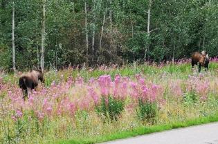 Moose along the Alaska Highway