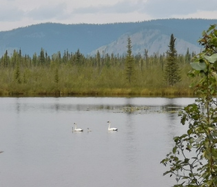 Trumpeter Swans with two cygnets