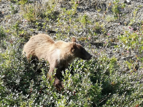 Kluane Grizzly by the road