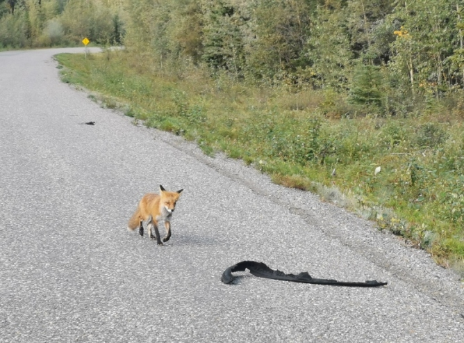 Red Fox checking out tire depris