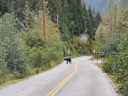 Grizzly Bear crosses in front of the RV