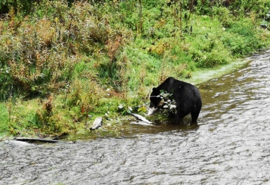 Dark coloured Grizzly Bear