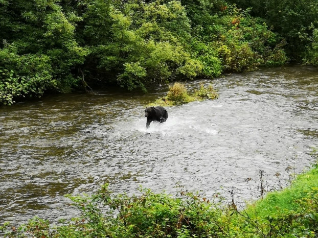 Chasing the salmon