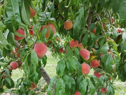 Amazing Peaches