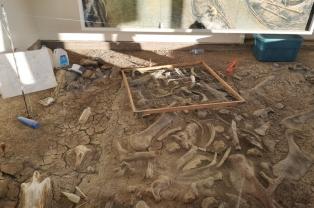 Centrosaurus bone bed exhibit