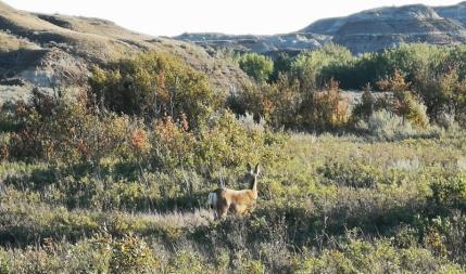 Deer along the Cottonwood Flats Trail