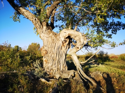 200 year old Cottonwood Tree