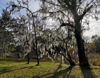 Moss on live oaks