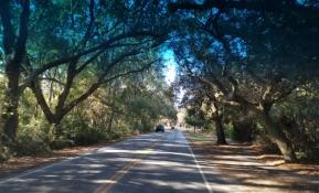 Live oaks along streets to James Island County Park