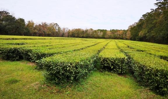 Mature tea plants