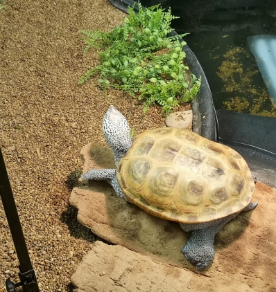 Diamondback Terrapin turtle