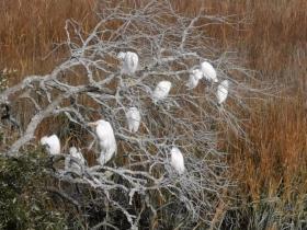 Egrets in the salt marsh