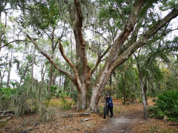 Live Oak along Big Ferry Trail