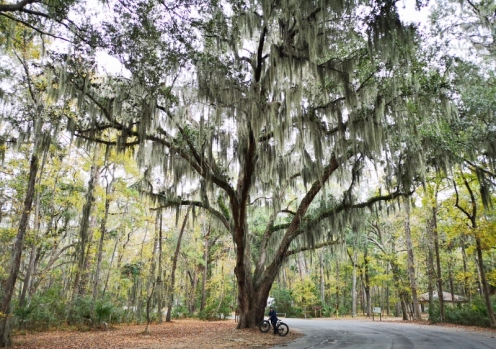 Giant Live Oak in Camground - note Sharon at the base