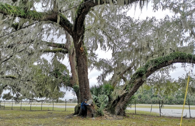 McEvers Bayard Brown Oak - 51' circumference, one of the nation's largest live oaks