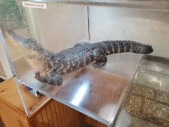 Alligator in the Interpretative Centre