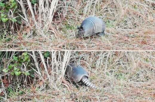 Armadillo going to hide in the bush