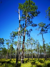 White banded Longleaf Pine tree on Uplands trail