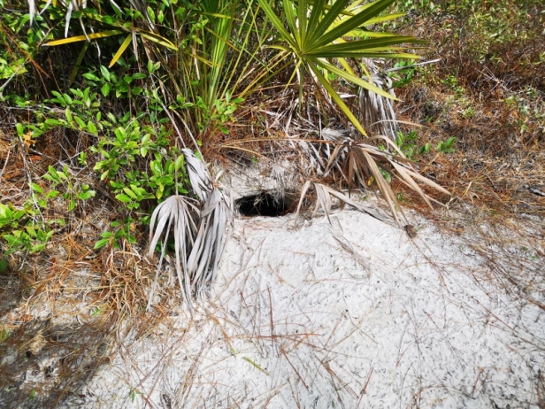 Gopher Tortoise hole but we didn't see the tortoise