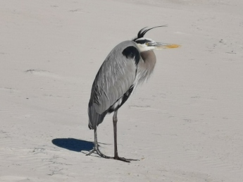 Great Blue Heron - don't they look mean