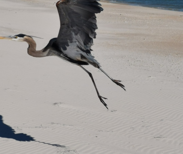 Great Blue Heron - I'm outta here