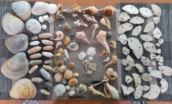 "Our Seashell and Sand Dollar ""keepers"". Very hard to find a complete dollar, we settled to fifty cents."