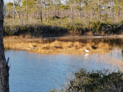 Alligator on left and Great Egret on right