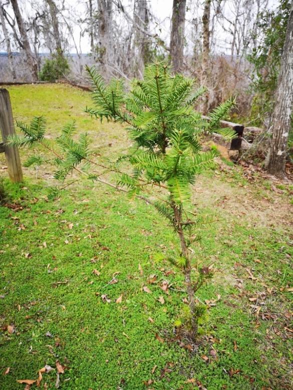 Healthier Torreya Tree