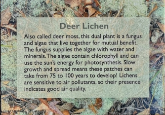 We also saw Deer Lichen in Tombstone park in the Yukon in the summer