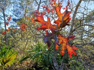Colourful oak leaves near the cabins