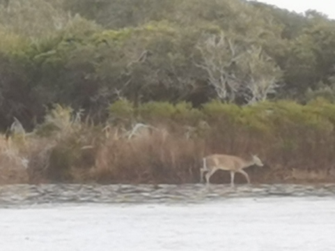 White Tailed Deer on far side of No Name Lake