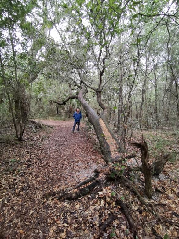 Live Oak still growing on its side on Brackenridge Trail