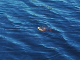 Turtle in Long Pond