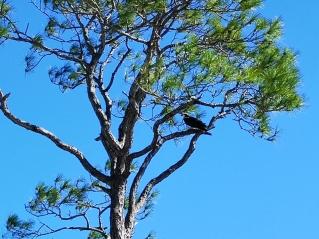 Osprey on Sand Pine Trail