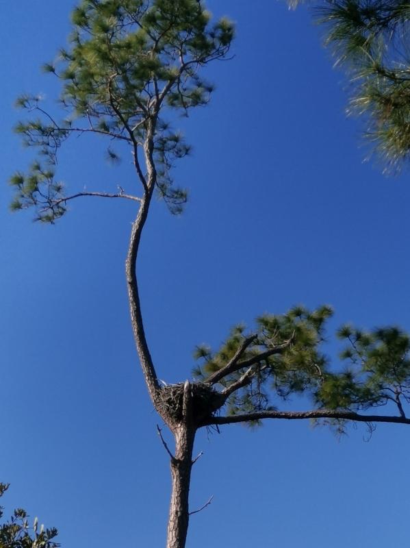 Perfect Osprey nesting location