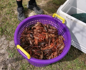Cleaned Crawfish ready for boil