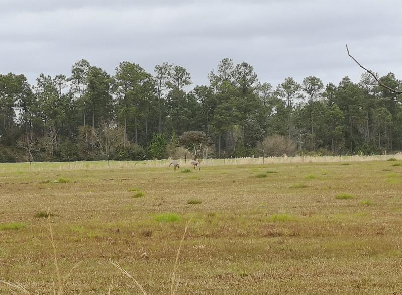 Mississippi Sandhill Cranes (2)