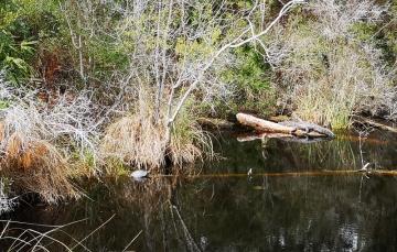 Turtle and Alligator
