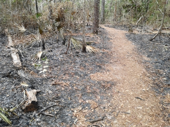 Very recent controlled burn on either side of trail