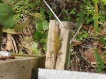Lizard on the bridge